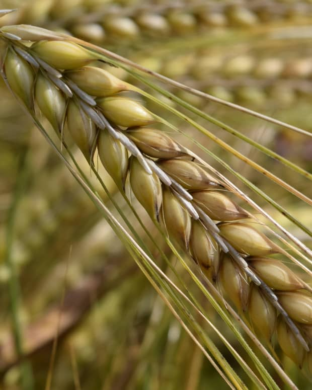 survival-skills-long-term-food-storage-grains