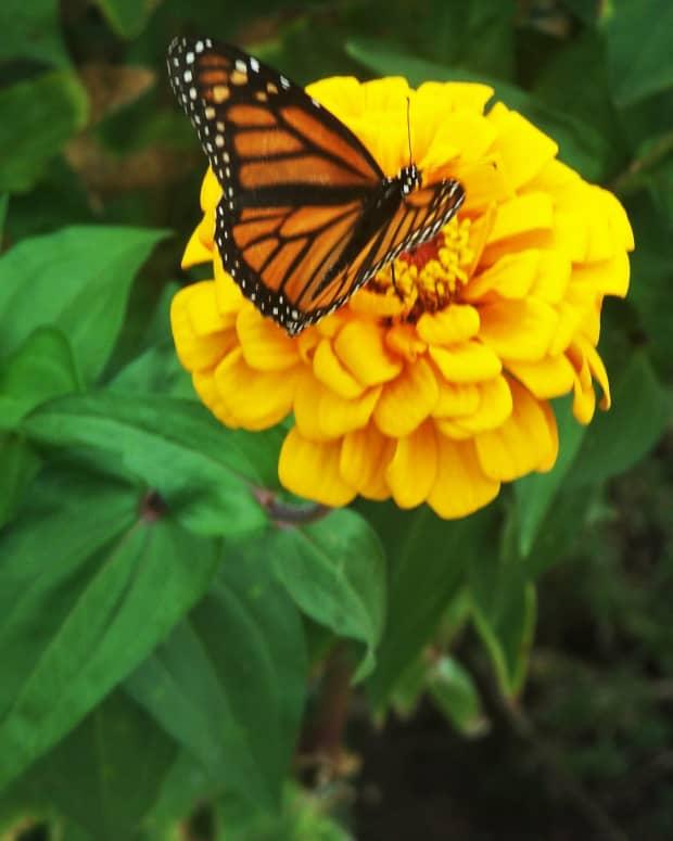 haiku-to-a-butterfly