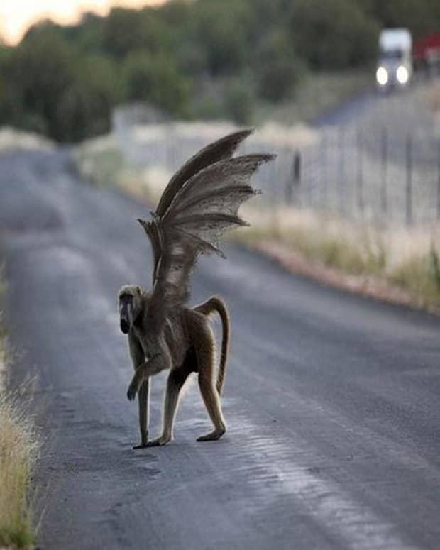 rebob-the-flying-monkeys-of-napa-valley