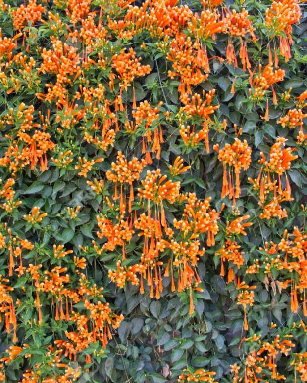 trumpet-flowers