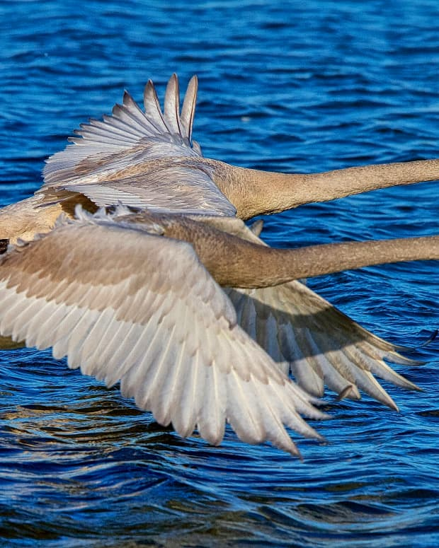 the-100-trumpeter-swans-who-call-heber-springs-arkansas-their-winter-home