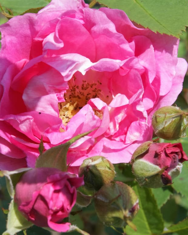 the-earth-blooms-in-roses