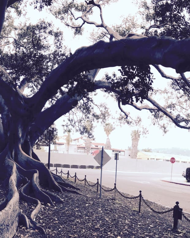 the-big-tree-of-santa-barbara-lyrical-poem