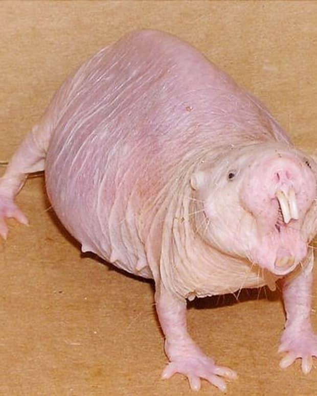 naked-mole-rats-strange-discoveries-about-an-unusual-animal