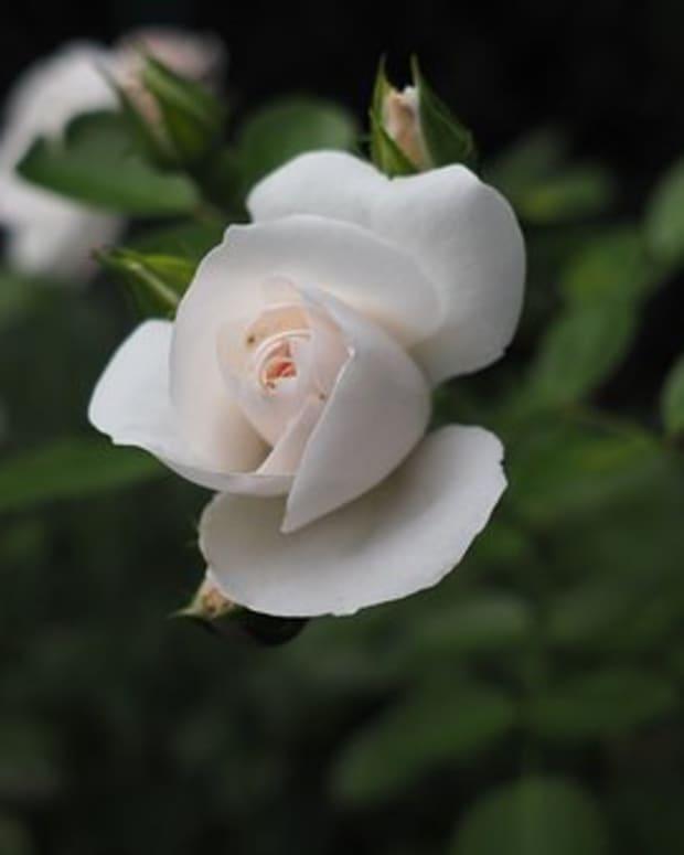 love-of-a-sick-rose