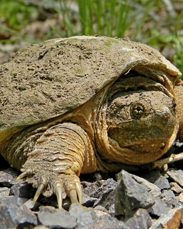 need-some-trouble-its-a-snap-ping-turtle