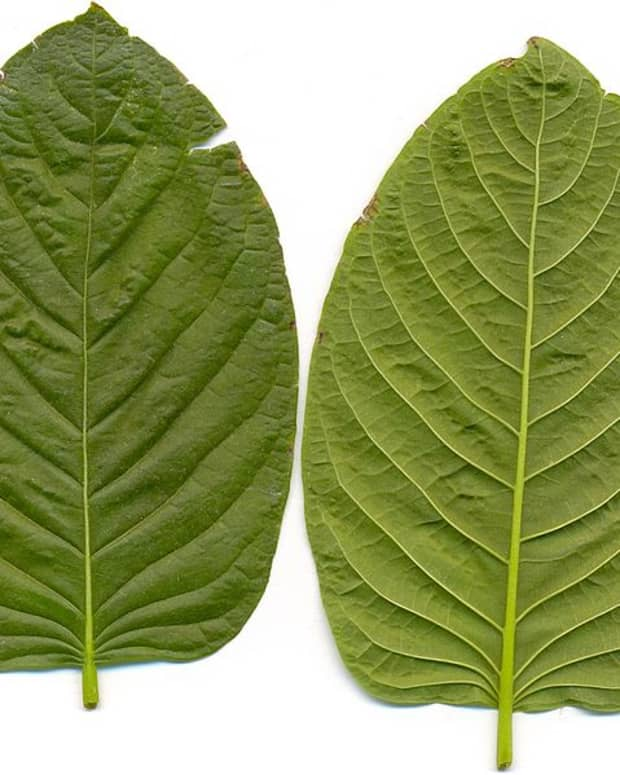 kratom-a-safe-alternative-to-prescription-medications-with-a-bad-wrap-or-a-genuine-threat-to-your-health