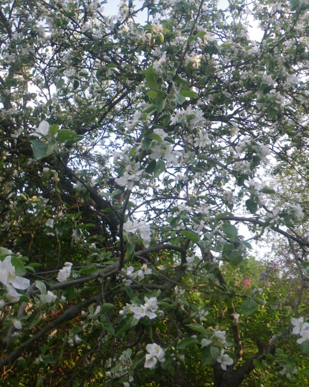 moon-blossom