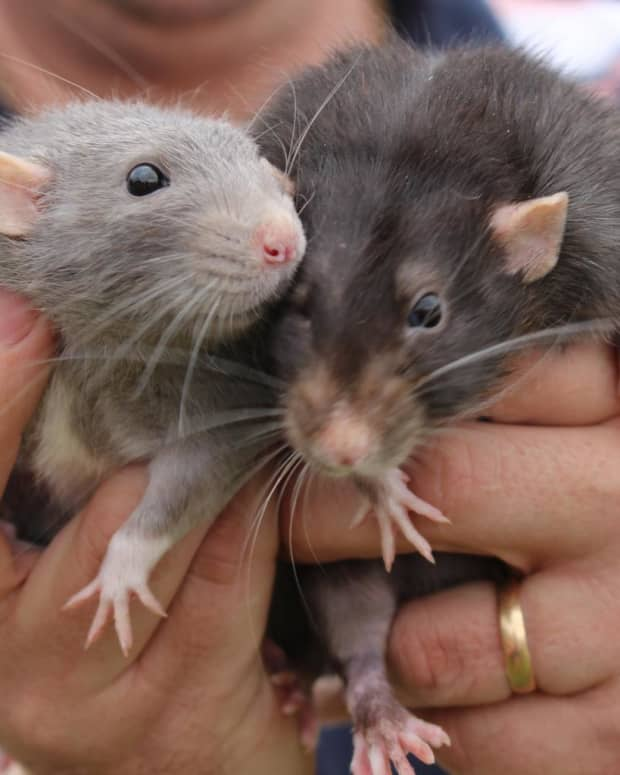 10-tips-that-say-farewell-to-your-rat-problems