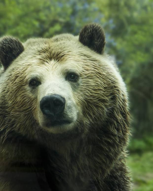 in-praise-of-grizzly-bears