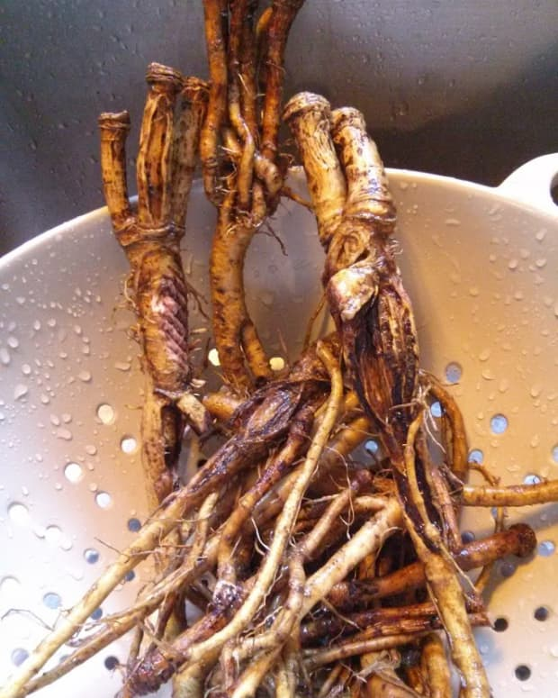 Fresh dandelion roots