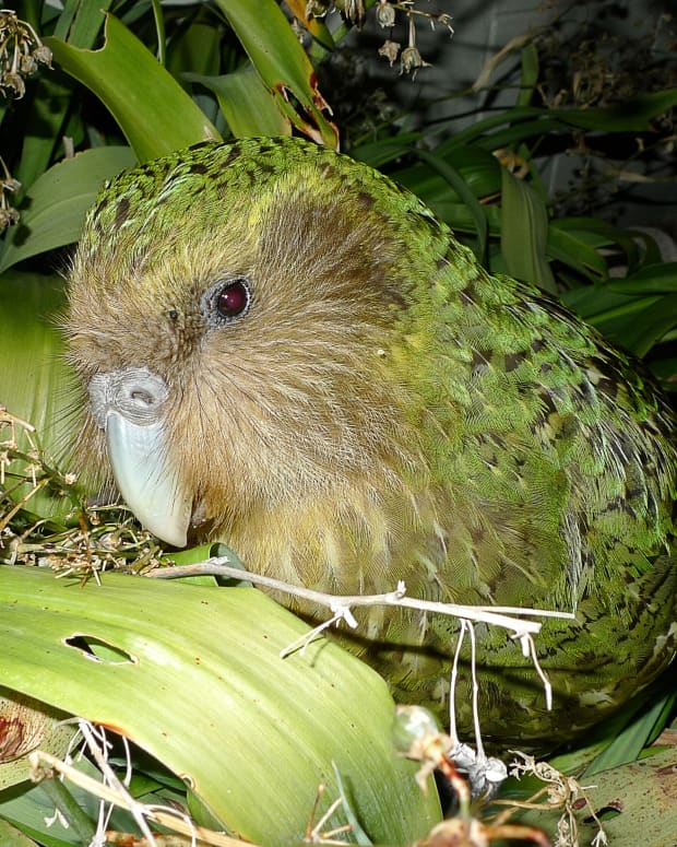 the-endangered-kakapo-parrot-and-sirocco-the-celebrity-bird