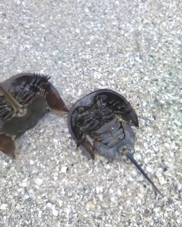 atlantic-horseshoe-crab-mating-season-and-maryland
