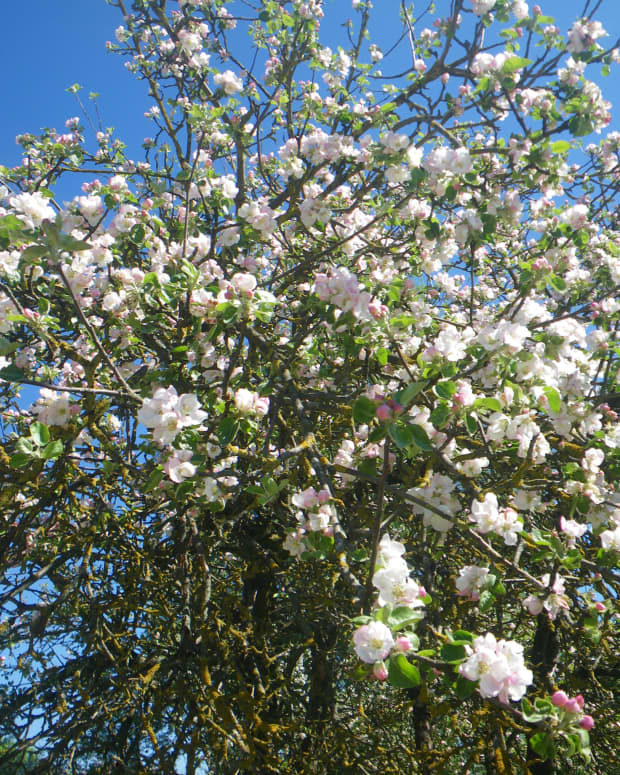 as-apple-blossoms-bloom