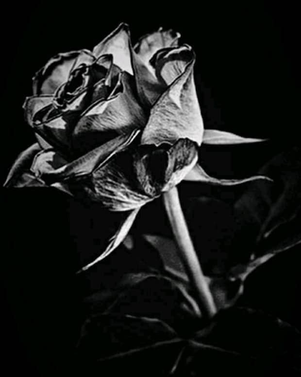 a-bouquet-of-black-roses