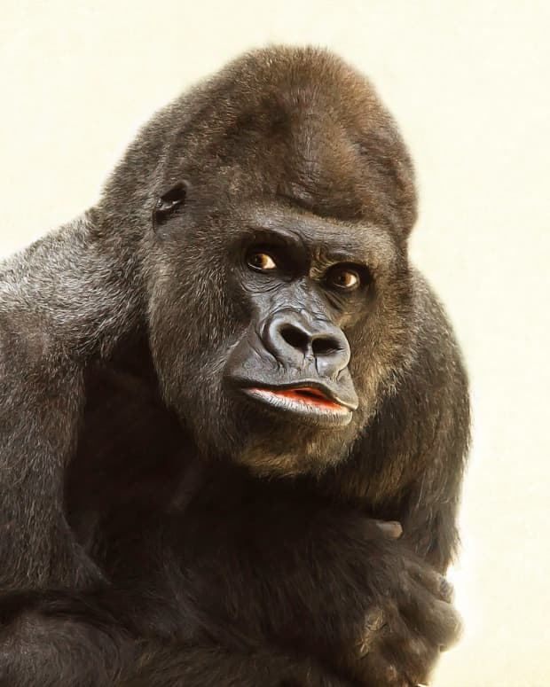 giving-needed-props-for-gorillas