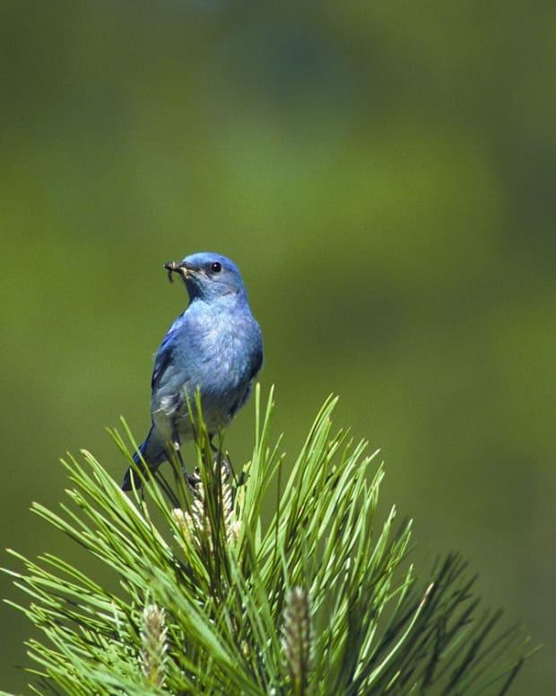 bluebirds-fly-away