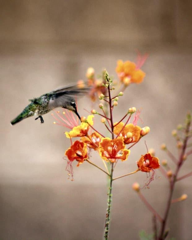 a-hummingbirds-flight