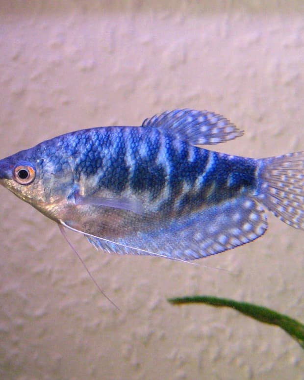 signs-of-stress-in-tropical-fish