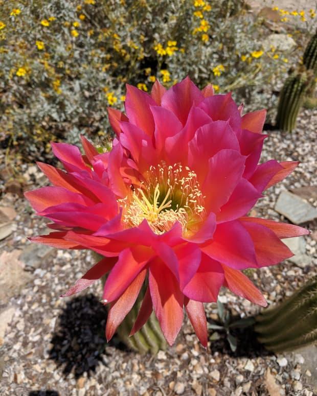 tucsons-arizona-sonora-desert-museums-blooming-torch-cacti