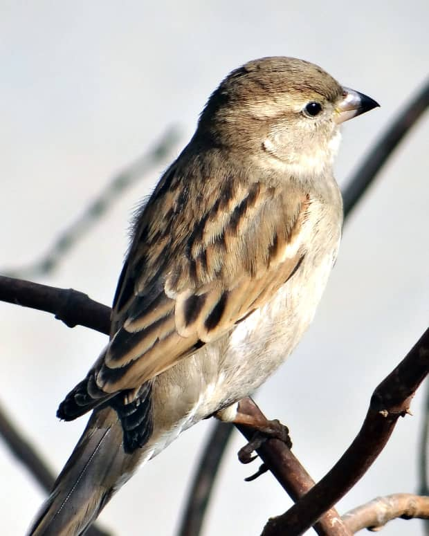 ode-to-a-sparrow