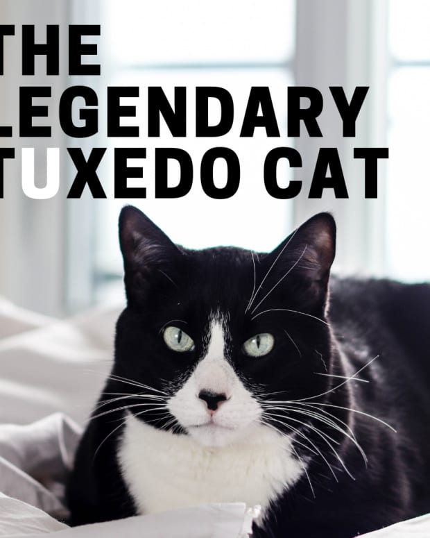 the-legend-of-the-tuxedo-bicolor-cat