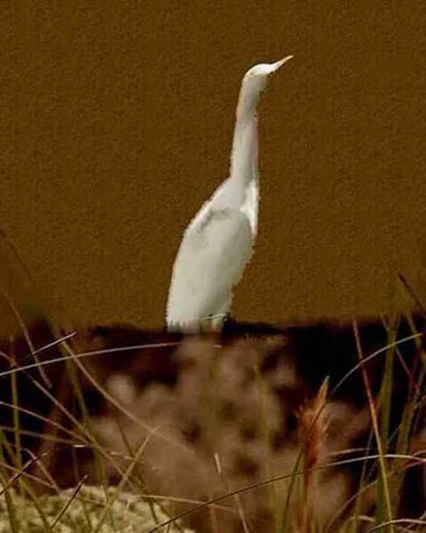 a-perfect-egret