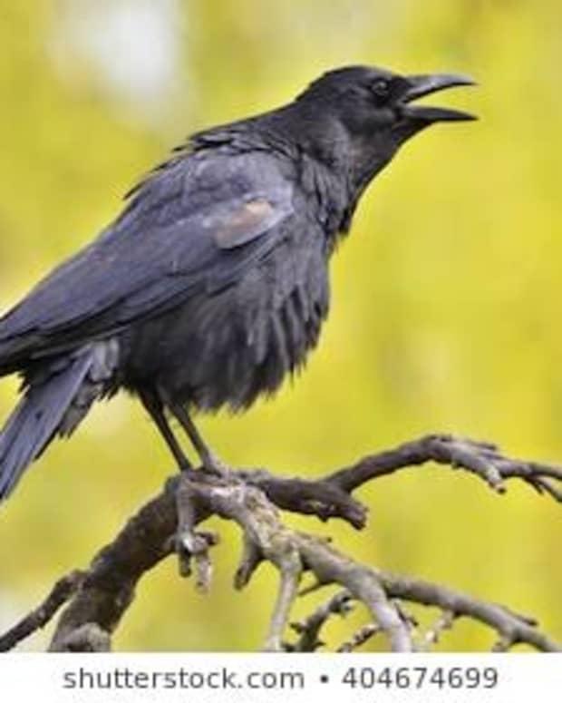 crack-crows-caws