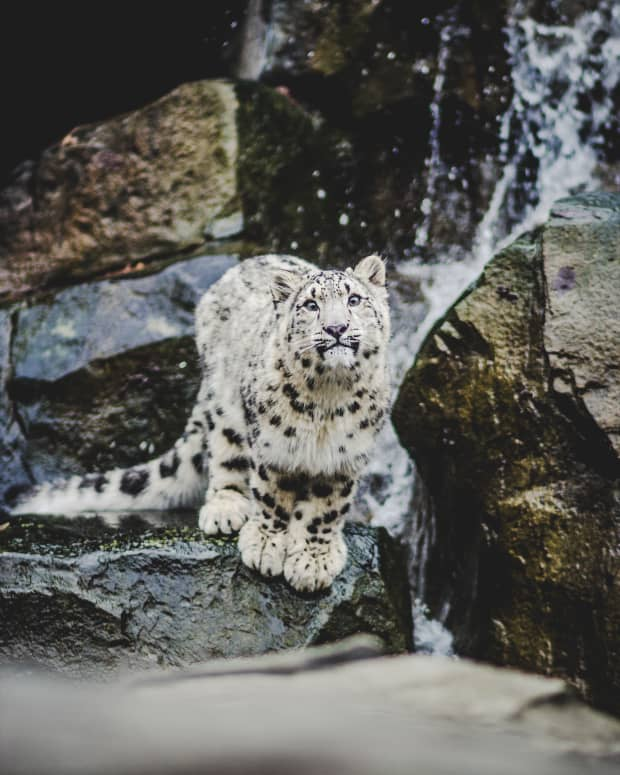 why-the-snow-leopard-bites-its-tail