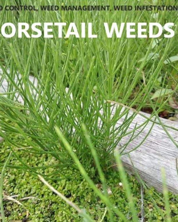 removing-horsetail-weeds-from-your-garden-and-patio
