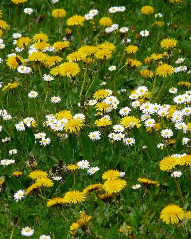 robin-in-a-field-of-dandelions