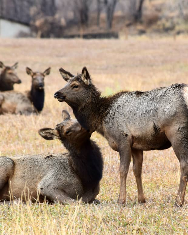 where-and-when-to-see-elk-in-rocky-mountain-national-park