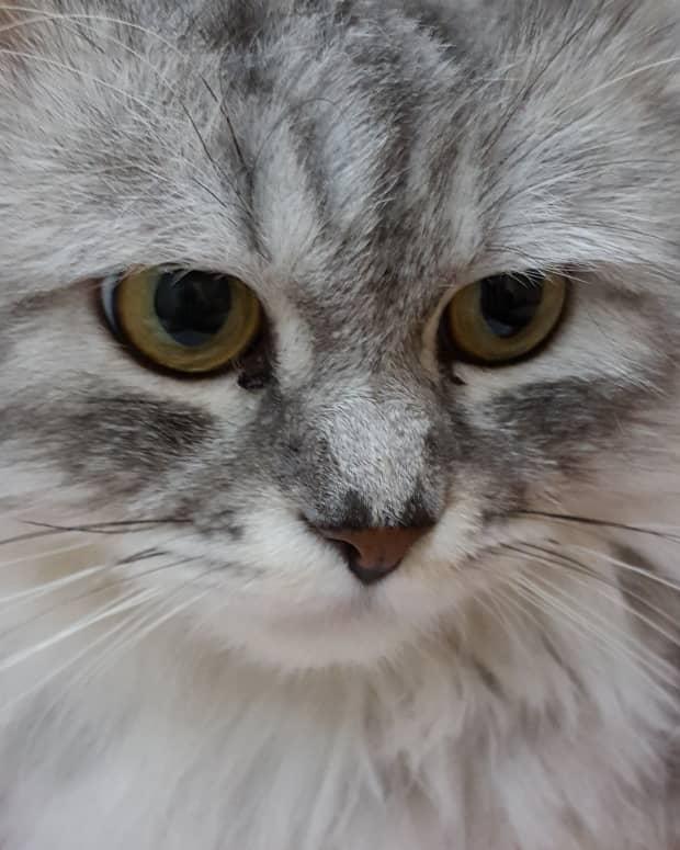 silver-cat-bella