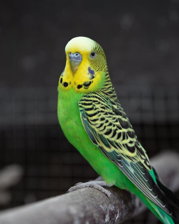 pete-the-parakeet