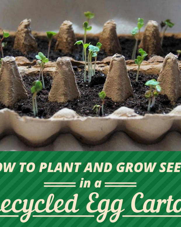 growing-seeds-in-an-egg-carton