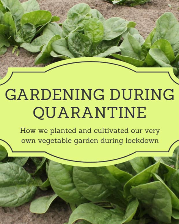 vegetable-gardening-during-quarantine