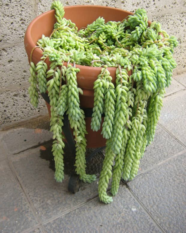 how-to-grow-burros-tail-donkey-tail