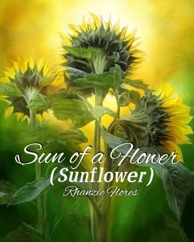 sun-of-flower-sunflower