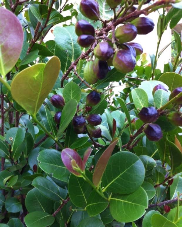 florida-landscape-choice-the-cocoplum