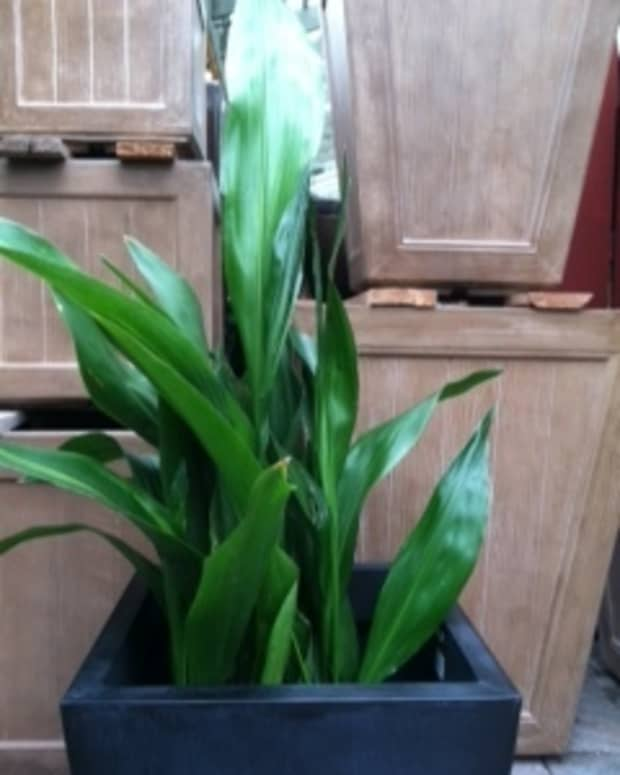 caring-for-aspidistra-cast-iron-plant