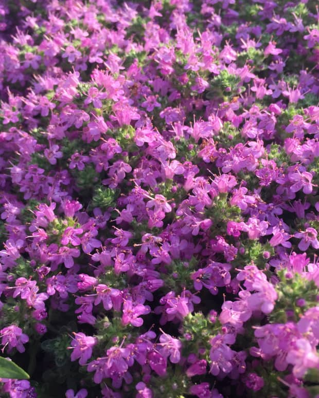 creeping-thyme-groundcover-plant-types-care-and-propagation