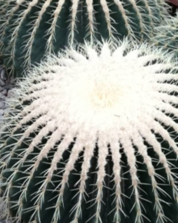 caring-for-indoor-barrel-cactus