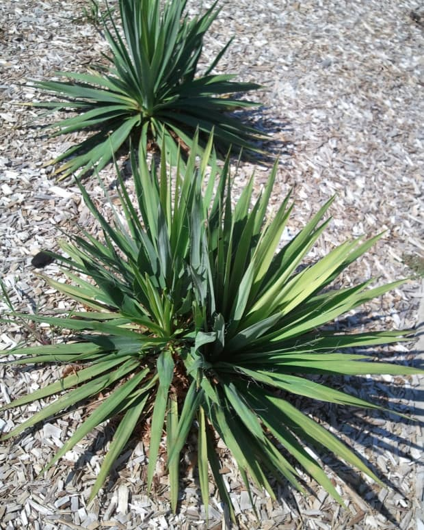 how-to-take-care-of-a-yucca-plant