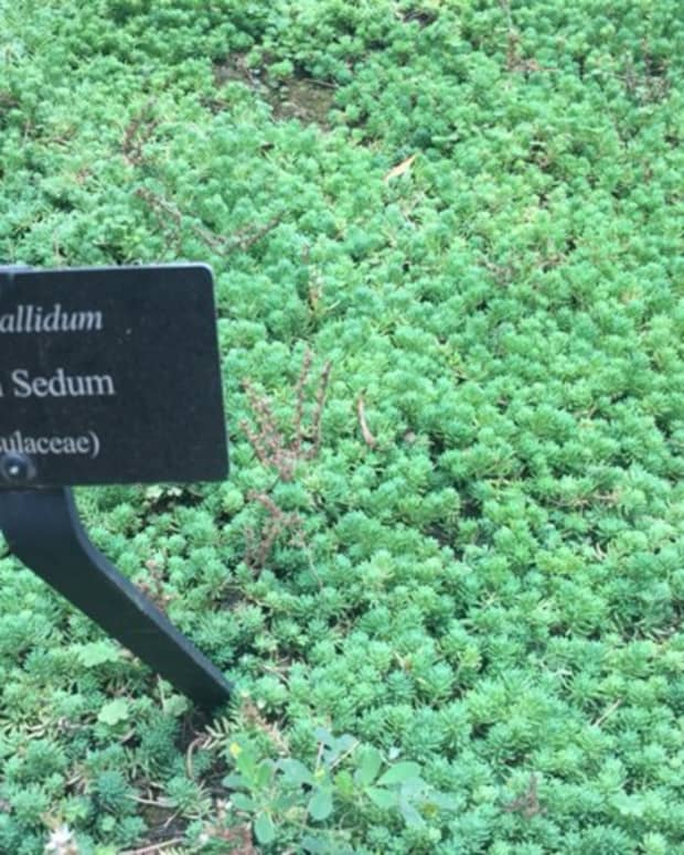 sedum-plant-types-care-and-propagation