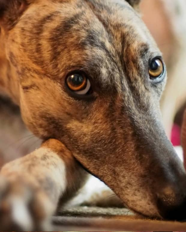 retired-racing-greyhounds-as-pets-rescue-dogs-adoption-puppies-greyhound-homes-for-unwanted-abandoned-greyhounds