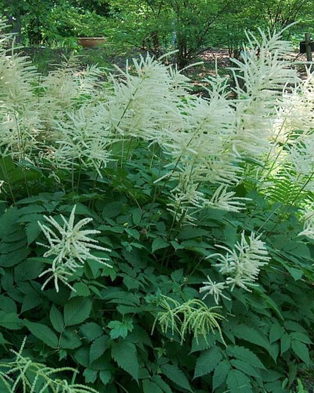 how-to-grow-goatsbeard-a-native-plant
