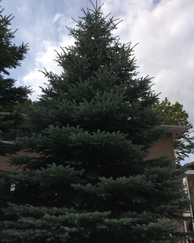 spruce-after-the-rain