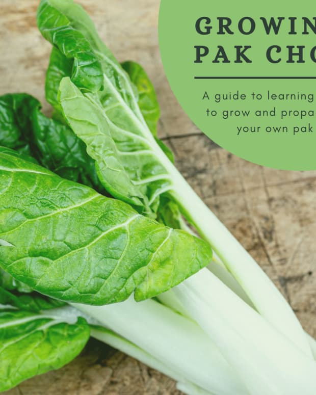 how-to-grow-your-own-pak-choi