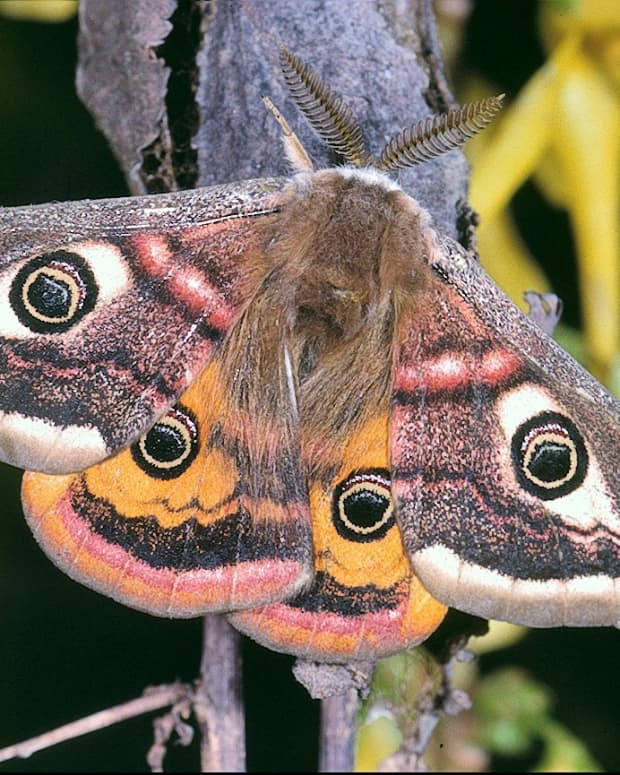 impressive-moths-in-the-family-saturniidae-facts-and-photos