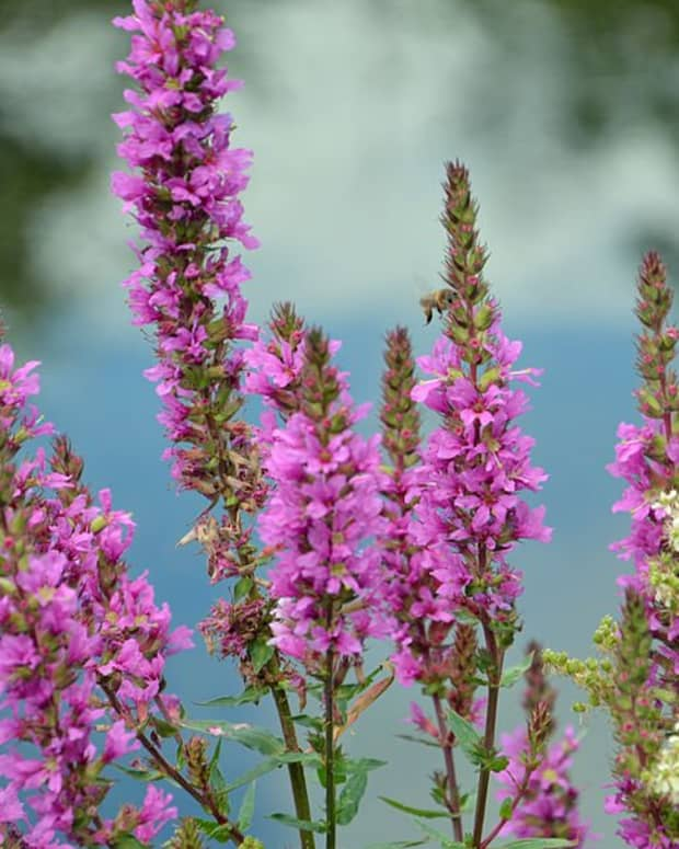 purple-loosestrife-an-invasive-plant